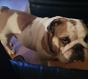 Snoring English bulldogs  - Video