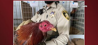 Police rescue 300 roosters used for cockfighting in Las Vegas neighborhood