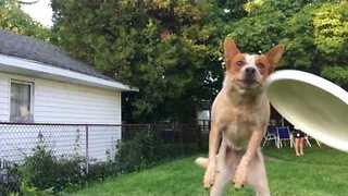 Clumsy Dog Attempts To Catch Frisbee, Catches Camera Instead - Video