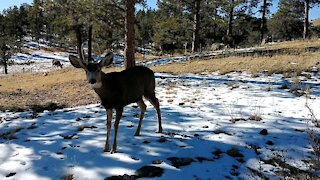 Young Buck Mule Deer Walks Right Up To Me