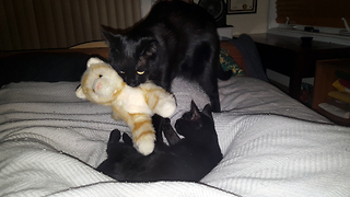 Black cat brings stuffed animal to bed - Video