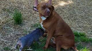 Pig Loves Dog So Much It Can't Stop Licking It - Video