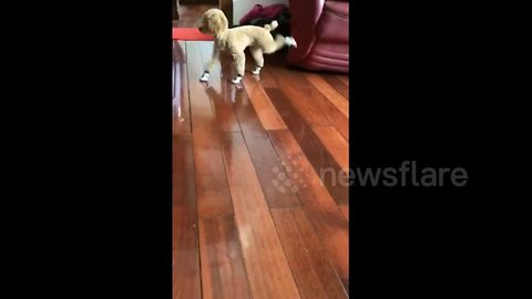 Poodle doesn't know how to walk in shoes