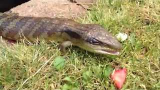 Blue-Tongued Lizard Makes Quick Meal Out of Strawberries