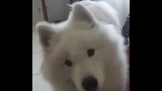 Confused Samoyed Gives Owner Quizzical Stare and Growl - Video