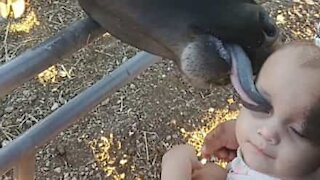 Friendly calf greets toddler with affectionate lick