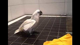 Cockatoo Entertains Human Owner in the Shower