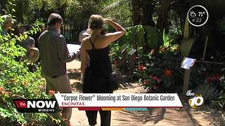 'Corpse Flower' blooming at San Diego Botanic Garden - Video