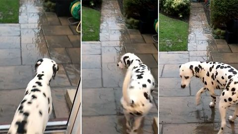 Adorable dalmatian can't stand a spot of rain
