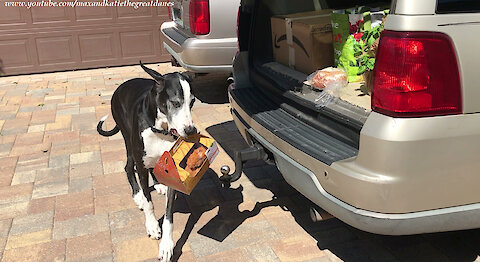 Clever Great Dane Delivers A Box Fried Chicken To Her Dog Bed