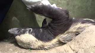 This Honey Badger Loves a Scratch - Video