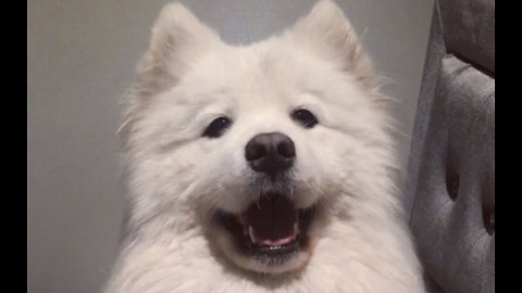 Super cute Samoyed