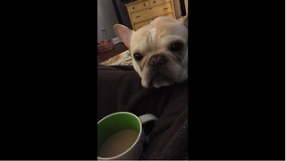 French Bulldog really loves his coffee