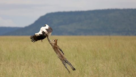 Watch: Heroic bird makes miraculous escape as hungry leopard leaps into the air to capture it