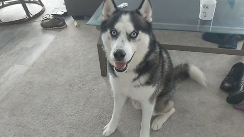 Vocal Husky Engages In Mouthful Conversation With Owner