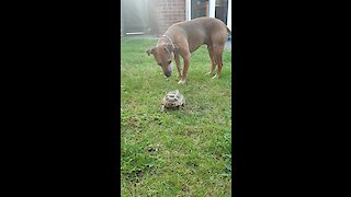 Fearless Turtle Chases Dog Around The Yard