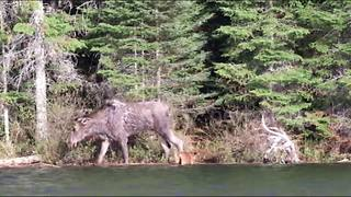 Mother Moose Rescues Drowning Calf - Video