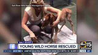 Young horse rescued from Salt River area - Video