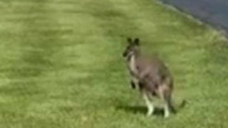 Stray Wallaby Spotted in Lowell, Indiana - Video