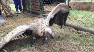 Near-Paralyzed Vulture Makes Miraculous Recovery in South Africa - Video