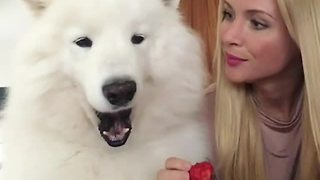 Woman shares strawberries with fluffy Samoyed
