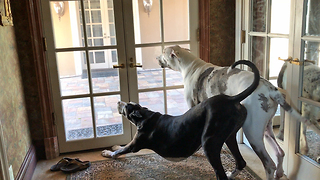 Clever Great Danes Greet Owner and Deliver Groceries  - Video