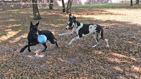 Happy Great Danes Love To Run and Play Ball Games ~ 2000 th Video