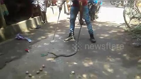 Bloated cobra is filmed being forced to regurgitate seven whole eggs