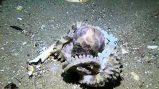 Blue-Ringed Octopus Protects Its Eggs