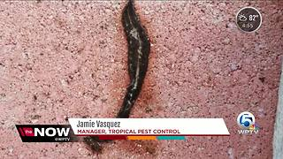 New Guinea flatworms spreading through Florida - Video