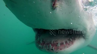 Great white shark gives cameraman a close up of its jaws - Video