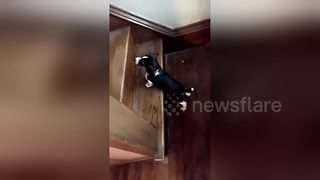 Beagle puppy tumbles after trying to make it up stairs for first time - Video