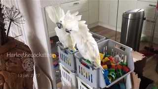 Boogieing Bird Shows Off the Cockatoo Shake - Video