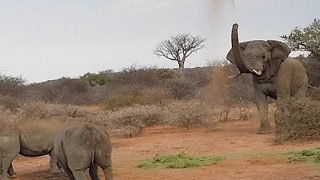 Fierce elephant fights off rhinos for food - Video