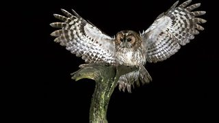 Unsuspecting owl knocked off perch by collision with another owl - Video