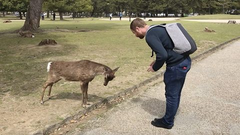 Bows about that! Bizarre moment deer bows for food in Japanese park