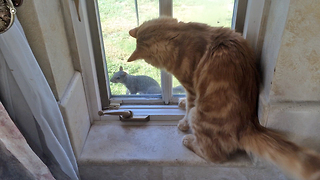 Friendly Feline Intrigued By Fearless Squirrel - Video