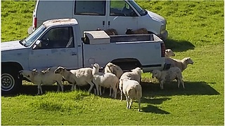 Sheep use truck as personal scratching post - Video