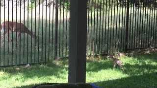 Cute Fawn Returns From Back Garden to Its Mother - Video