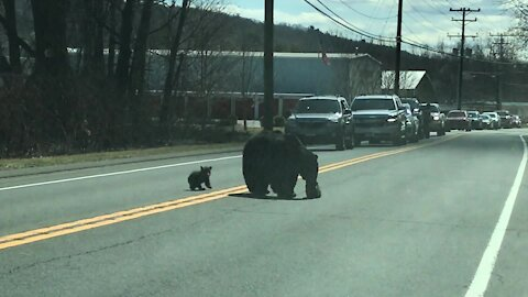 Mom bear struggling to cross road with cubs is every parent