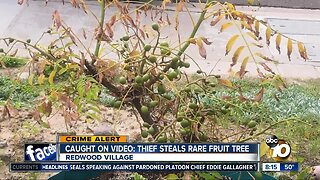 Video captures thief stealing rare San Diego fruit tree