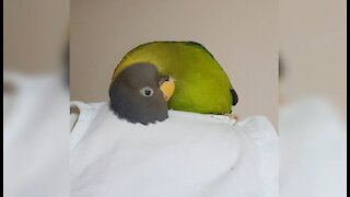 Adorable parrot gives himself a head massage