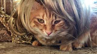 Funny Jack the Maine Coon Cat with a Mane  - Video