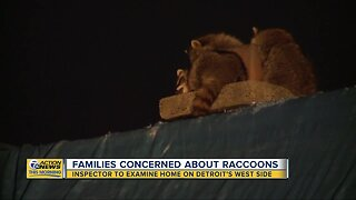 Families concerned about raccoons on west side of Detroit