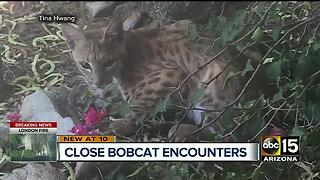 More bobcat sightings around the Valley - Video