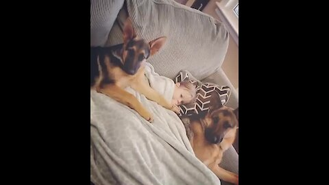 Safest baby ever sleeps with two protective German Shepherds