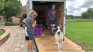 Great Dane loves to run up and down trailer ramp
