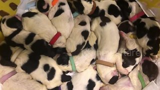 Village help save a litter of 14 orphaned puppies - Video