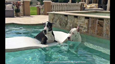 Summer-loving Great Danes loves to lounge in the pool
