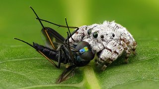 Rainforest jumping spider feasts on long-legged fly